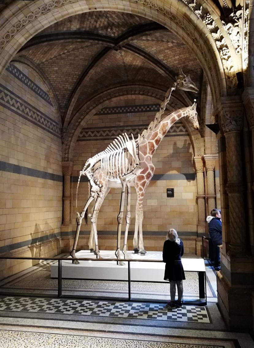 Natural History Museum giraffe
